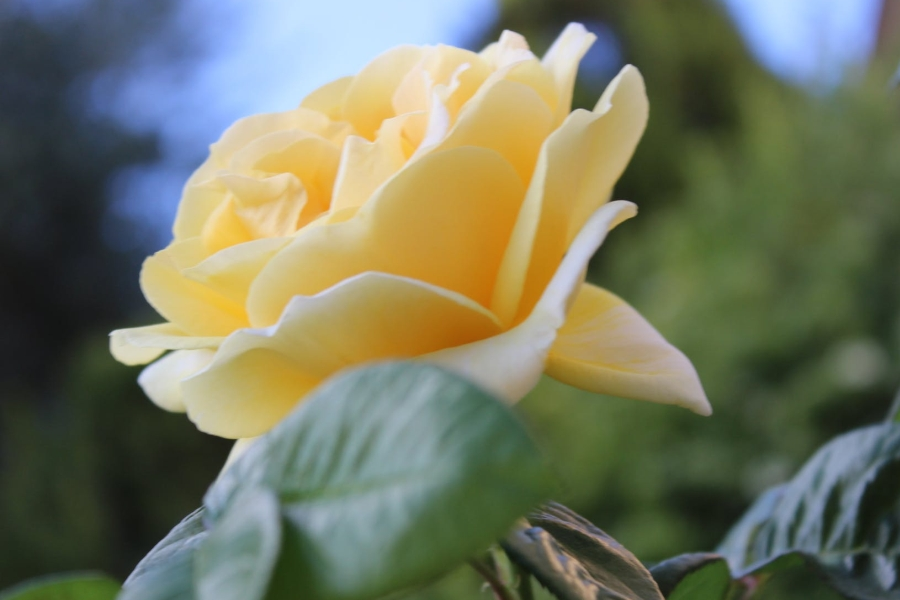 zolta roza